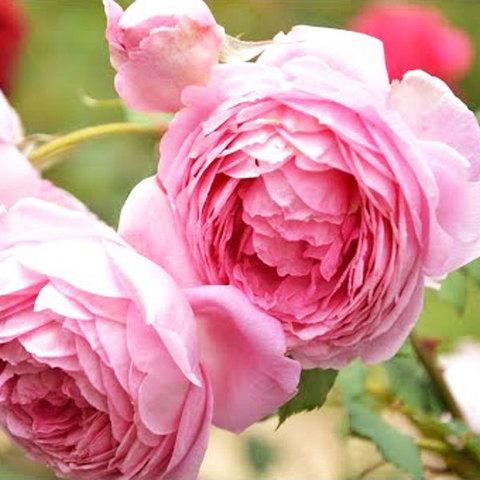 Роза английская Алан Титчмарш