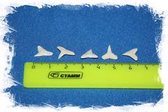 Натуральный зуб акулы для украшений и коллекции
