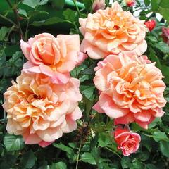 Роза плетистая Алоха