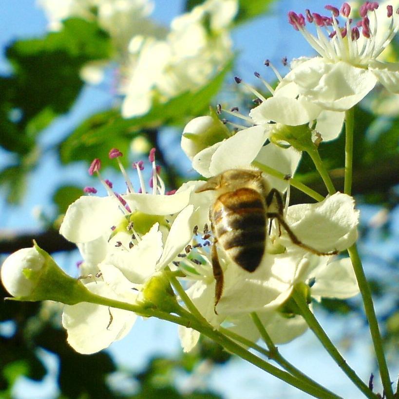 Пчела на цветке боярышника