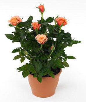Роза Кордана оранжевая Дора