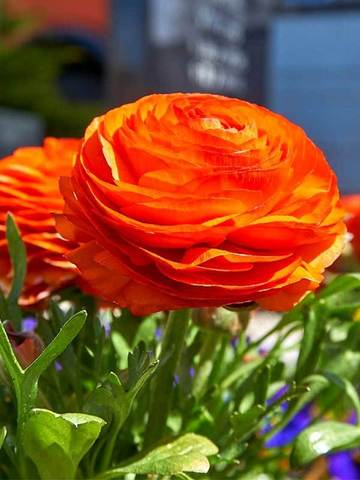 Ранункулюс оранжевый 6/7 (10 клубней)