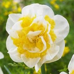 Нарцисс махровый Вествард