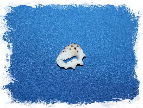 Срезы морской ракушки Друпа рицинис для украшений