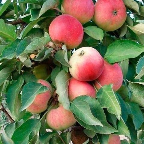 Яблоня колоновидная осенний сорт Кумир
