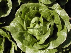 Лиад семена салата айсберг, (Hazera / Хазера)