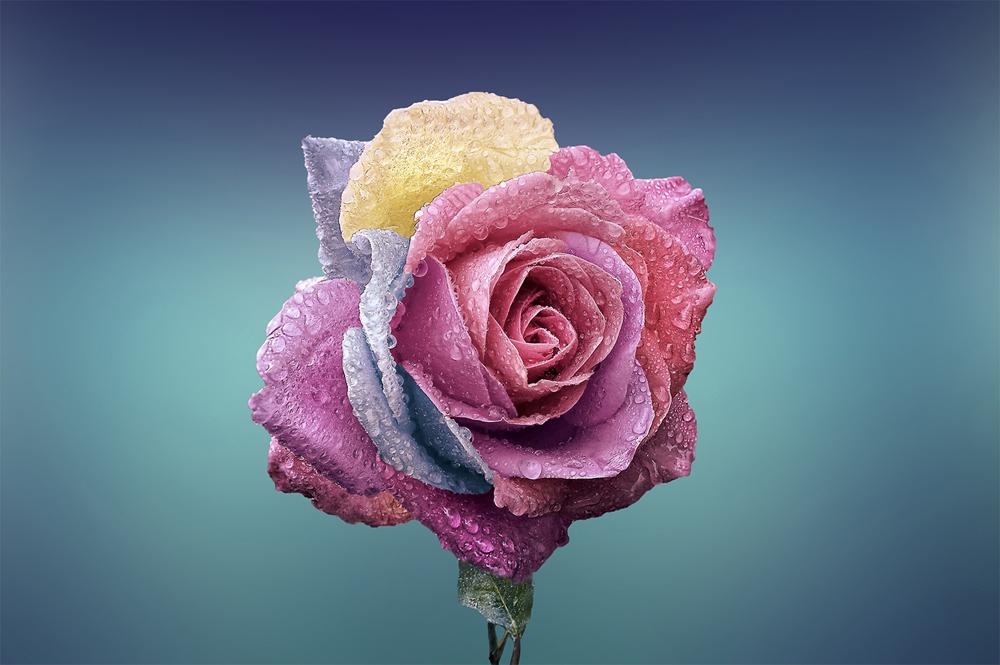 Папертоль Радужная роза — главное фото сюжета.