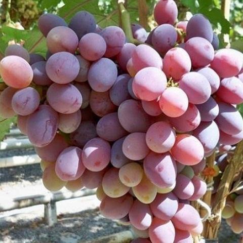 Виноград столовый Атаман