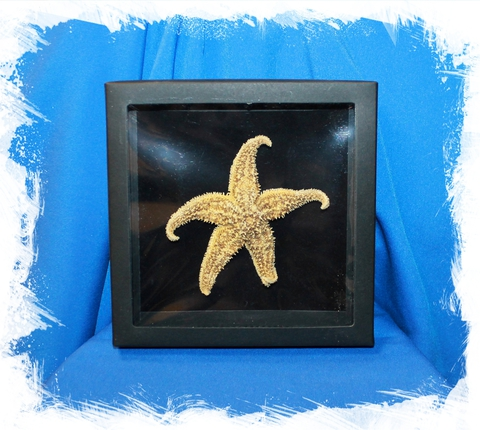 Морская звезда в коробочке Астериас рубенс