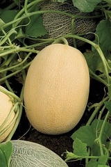 Биджоур F1 семена дыни, (Vilmorin / Вильморин)