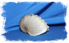 Ракушка аргонавт Хиенс, Argonauta hians