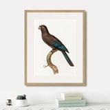 Джон Гульд - Beautiful parrots №10, 1872г.