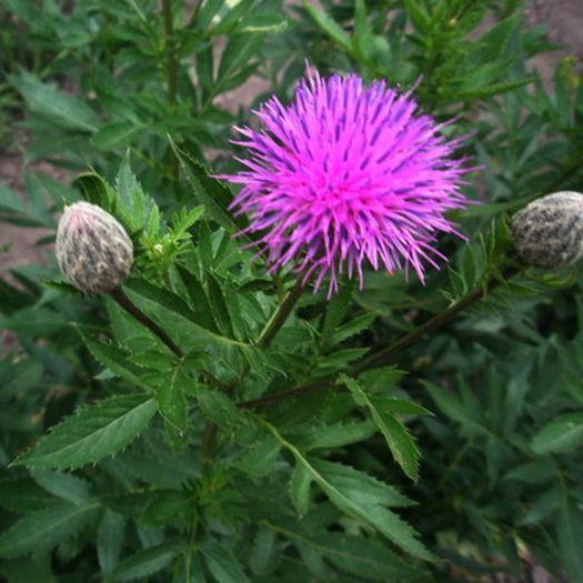 Левзея цветок