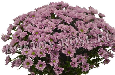 Букет розовых хризантем сорта Сантини