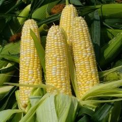 Cемена кукурузы сахарной Хони Бэнтам 78 дней, Sakata, 10 шт.