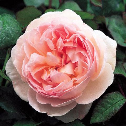 Роза английская Шарифа Асма