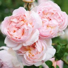 Роза английская Шарифа Асма Северный огород