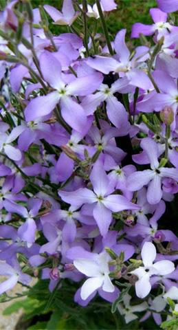 Семена Цветы Маттиола Двурогая б/п