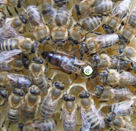 Пчеломатка Carnica F1 (Краинка)
