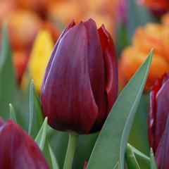 tulip-Pallada