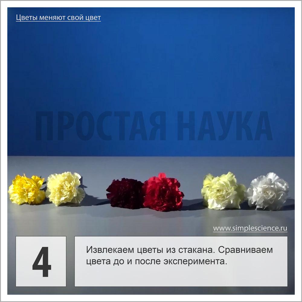 Извлекаем цветы из стакана. Сравниваем цвета до и после эксперимента.