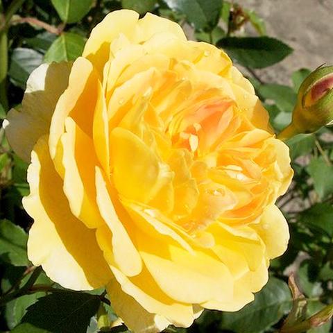 Роза парковая Молинью