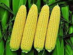 Турбо F1 семена кукурузы, (Clause / Клос)