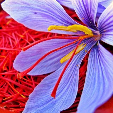 натуральный шафран - это пестики цветов