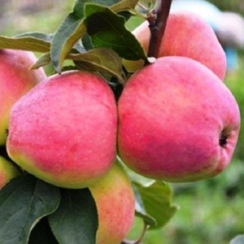 Яблоня осенний сорт Маяк Загорья