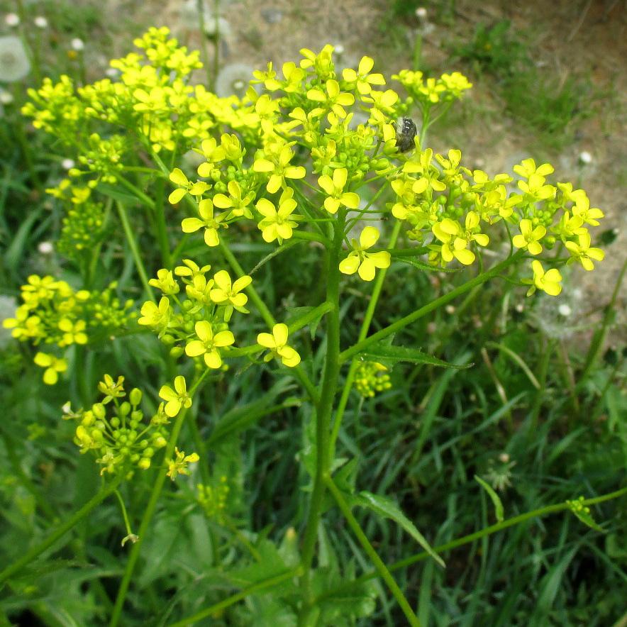 Свербига цветок