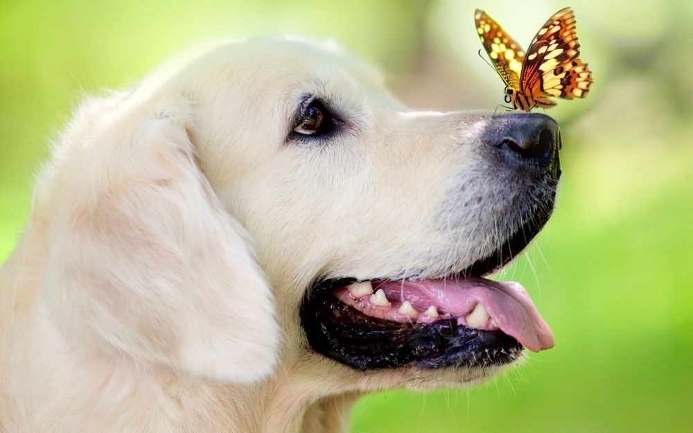 Картина раскраска по номерам 40x50 Лабрадор с бабочкой на ...