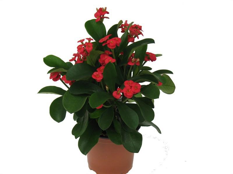 Молочай Миля - Комнатные растения и цветы 9