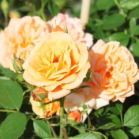 Роза миниатюрная Клементина