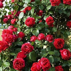 Роза плетистая Эрик Таберли