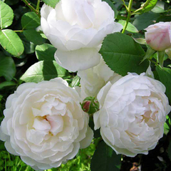 Роза парковая Глэмис Кэсл