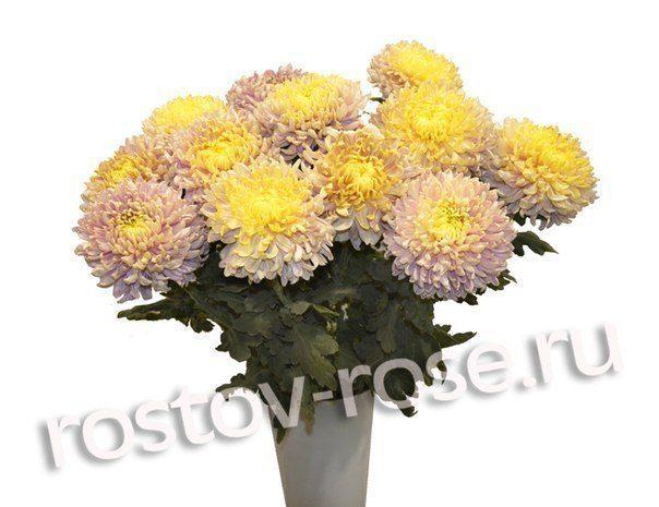 Желто-розовые шарообразные хризантемы