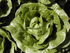 Линой семена салата айсберг, (Hazera / Хазера)