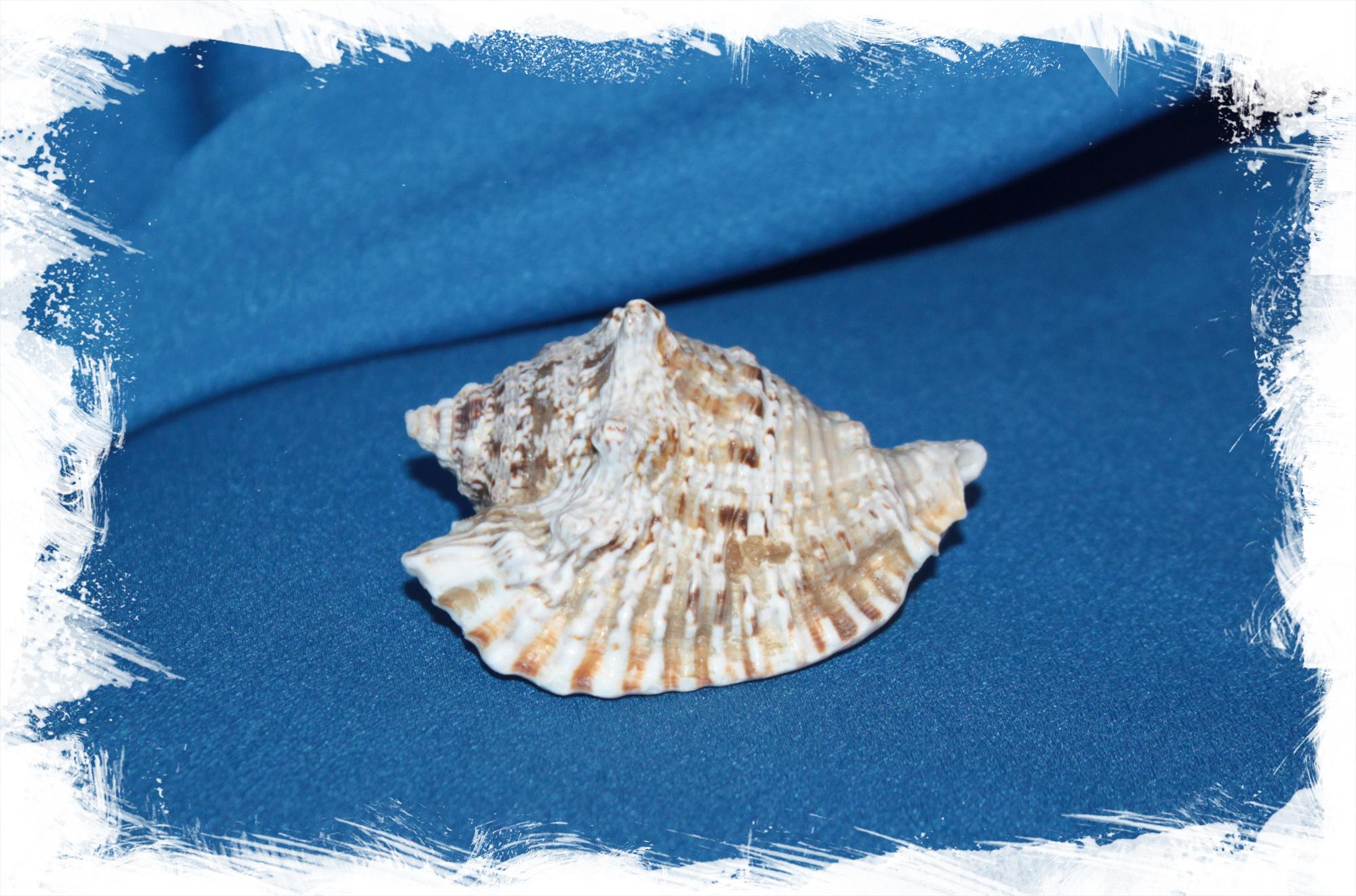 Ракушка Лягушачий стромбус, Strombus raninus для декора