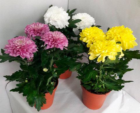 Хризантема махровая в цветовом ассортименте_room687