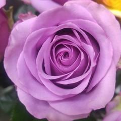 Роза чайно-гибридная Холодная вода
