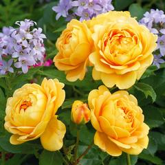 Роза парковая Голден Селебрейшен