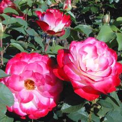 Роза флорибунда Юбилей принца Монако