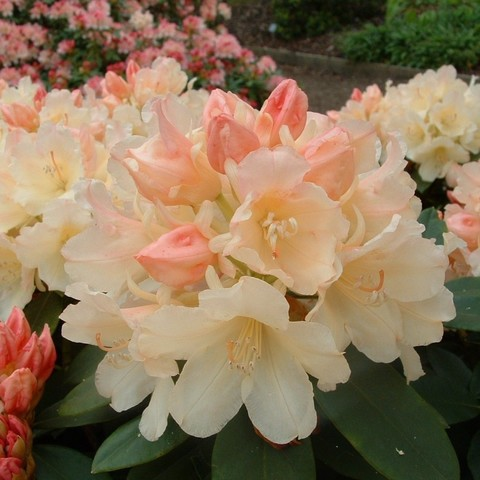 Рододендрон якушиманский_Rhododendron yakushimanum Golden Torch