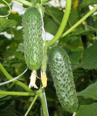 3506 F1 семена огурца партенокарпического (Seminis / Семинис)