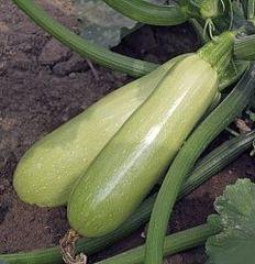 Адриелле F1 семена кабачка, (Vilmorin / Вильморин)