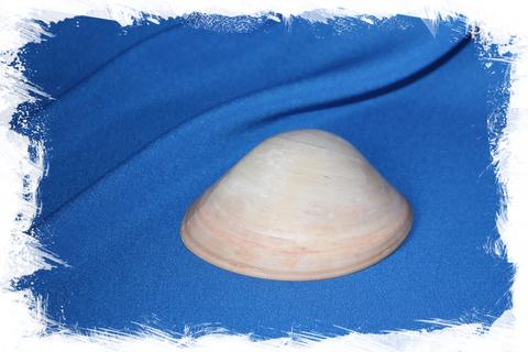 Морская ракушка Codakia