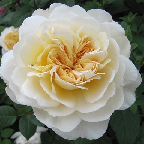 Роза английская душистая Крокус Роуз (Эмануэль)