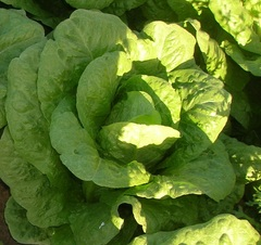 Моралес семена салата айсберг, (Hazera / Хазера)