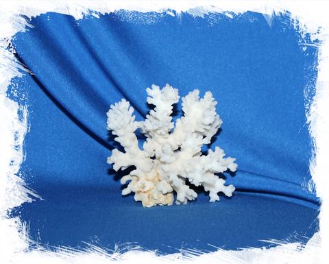 Коралл Поциллопора веррукоса 8 - 10 см.