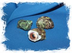 Морская ракушка с оперкулумом Туобо спарвериус, Turbo sparverius